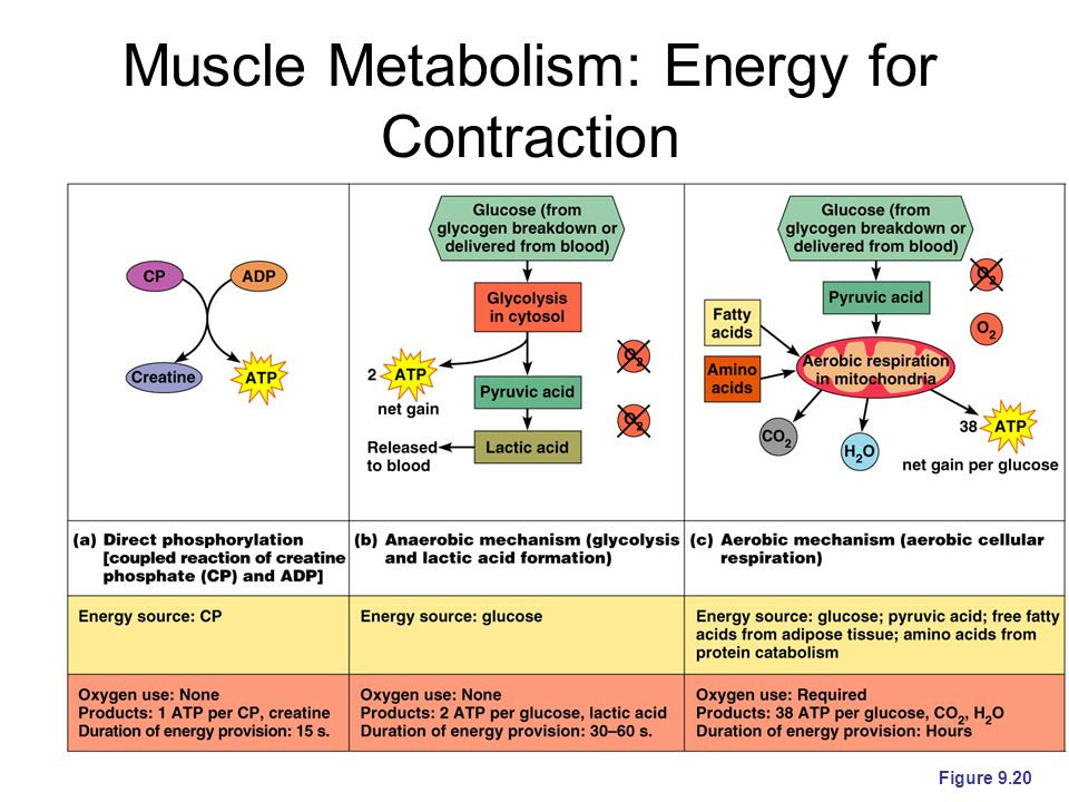 Muscle Metabolism: Energy for Contraction Figure 9.20