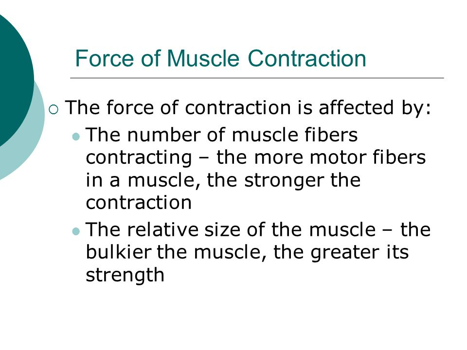 Force of Muscle Contraction  The force of contraction is affected by: The number of muscle fibers contracting – the more motor fibers in a muscle, the stronger the contraction The relative size of the muscle – the bulkier the muscle, the greater its strength