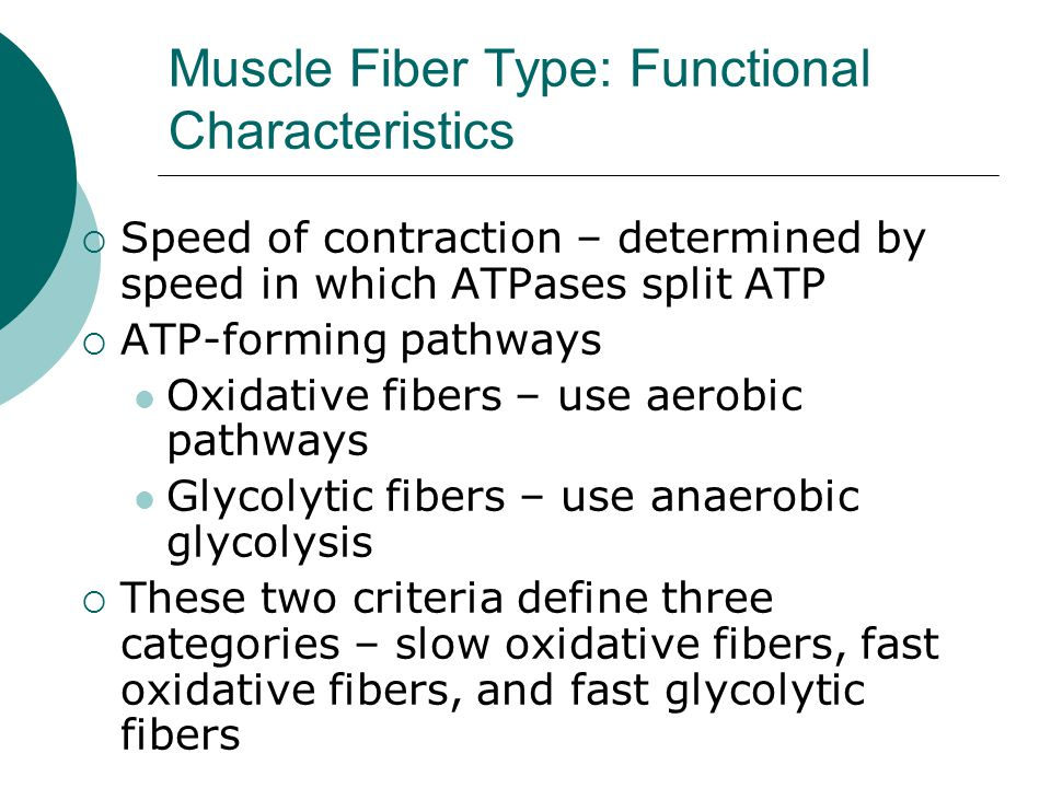 Muscle Fiber Type: Functional Characteristics  Speed of contraction – determined by speed in which ATPases split ATP  ATP-forming pathways Oxidative fibers – use aerobic pathways Glycolytic fibers – use anaerobic glycolysis  These two criteria define three categories – slow oxidative fibers, fast oxidative fibers, and fast glycolytic fibers