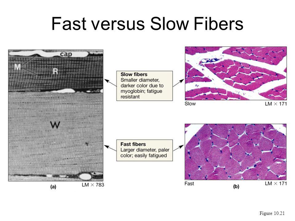 Fast versus Slow Fibers Figure 10.21