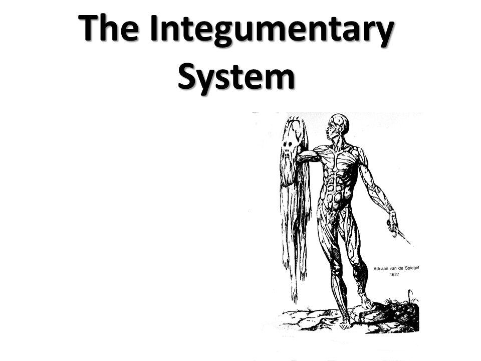 Integumentary System Hair Skin Nails