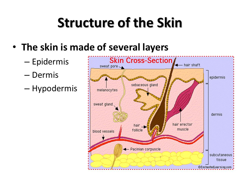 Structure of the Skin Epidermis The epidermis is the top layer of the skin The epidermis contains 2 layers – Top layer is flattened dead cells – Bottom layer is made of living cells These cells divide rapidly pushing upward Cells produce Melanin and Keratin – Melanin is a protein pigment that helps protect us from sun and gives us our color – Keratin is a tough fibrous protein that gives skin its strength