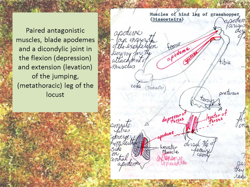 Paired antagonistic muscles, blade apodemes and a dicondylic joint in the flexion (depression) and extension (levation) of the jumping, (metathoracic) leg of the locust