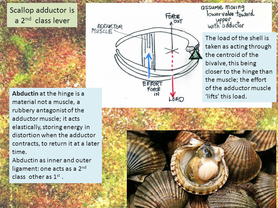 Scallop adductor is a 2 nd class lever The load of the shell is taken as acting through the centroid of the bivalve, this being closer to the hinge than the muscle; the effort of the adductor muscle 'lifts' this load.