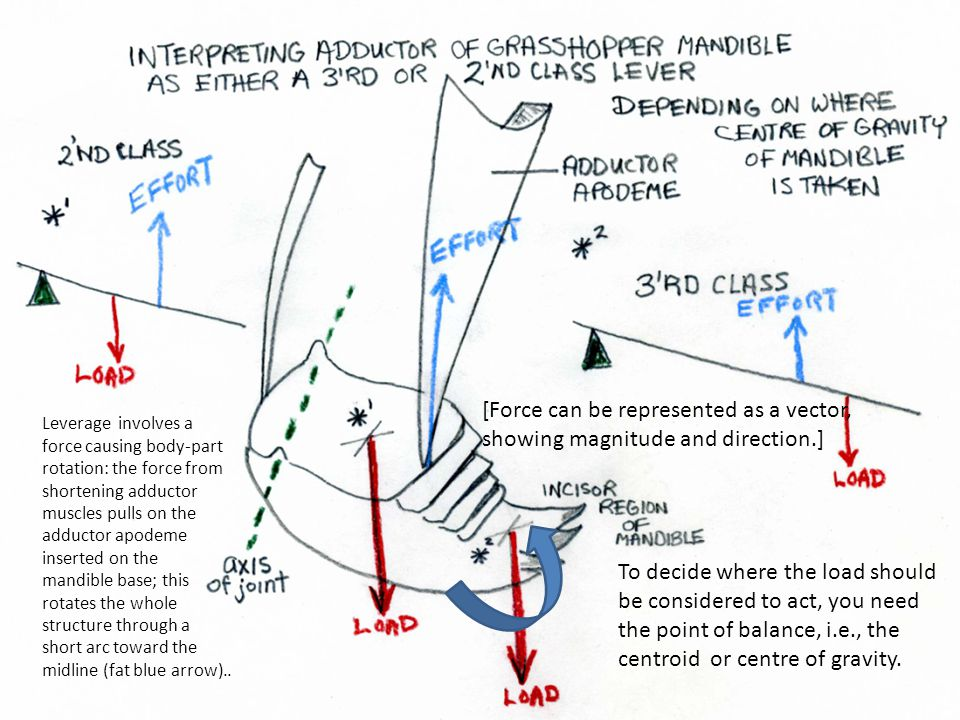 Leverage involves a force causing body-part rotation: the force from shortening adductor muscles pulls on the adductor apodeme inserted on the mandible base; this rotates the whole structure through a short arc toward the midline (fat blue arrow)..