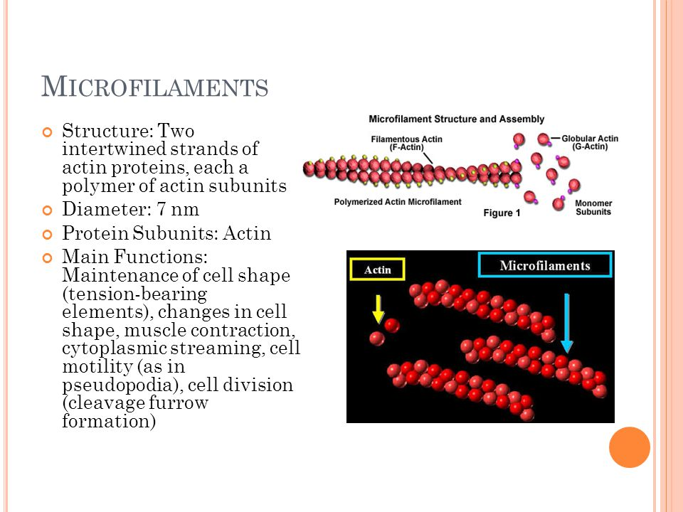 I NTERMEDIATE F ILAMENTS Structure: Fibrous proteins supercoiled into thicker cables Diameter: 8-12 nm Protein Subunits: One of several different proteins in the keratin family, depending on cell type Main Functions: Maintenance of cell shapes (tension-bearing elements), anchorage of nucleus and certain other organelles, formation of nuclear lamina