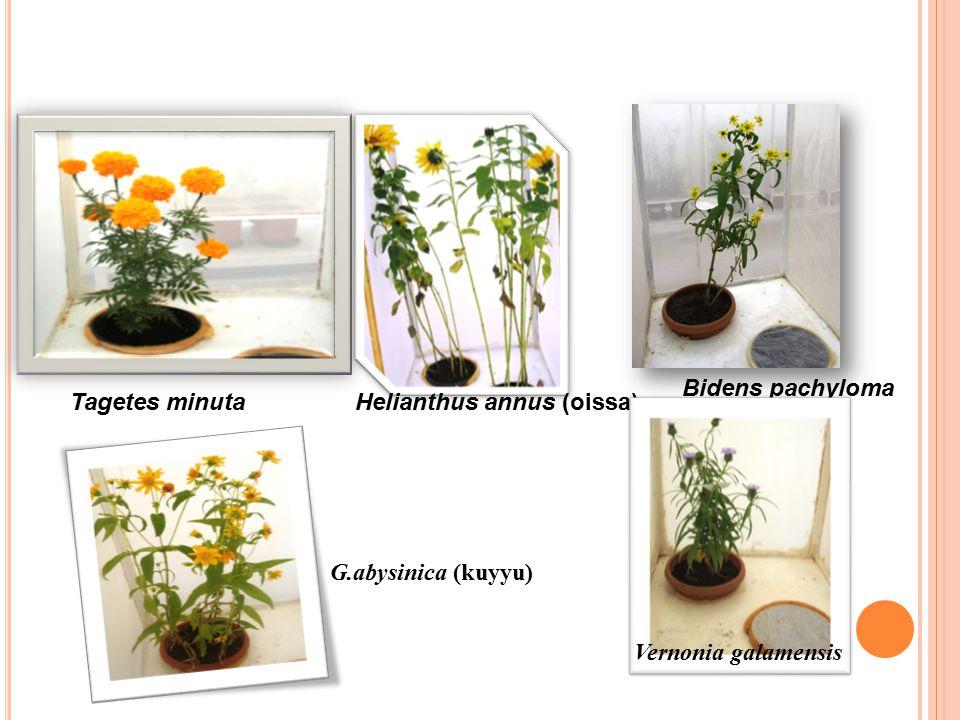 Tagetes minutaHelianthus annus (oissa) Bidens pachyloma G.abysinica (kuyyu) Vernonia galamensis
