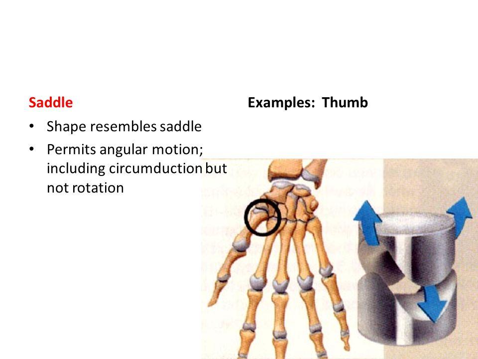 Saddle Shape resembles saddle Permits angular motion; including circumduction but not rotation Examples: Thumb