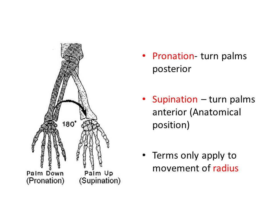 Pronation- turn palms posterior Supination – turn palms anterior (Anatomical position) Terms only apply to movement of radius