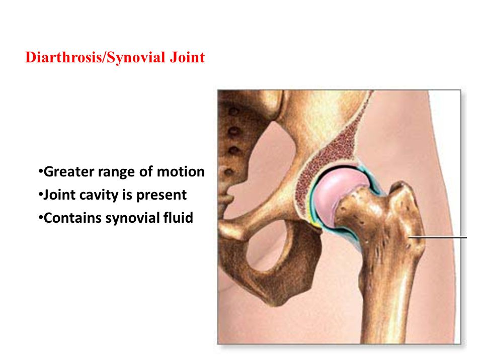 Diarthrosis/Synovial Joint Greater range of motion Joint cavity is present Contains synovial fluid