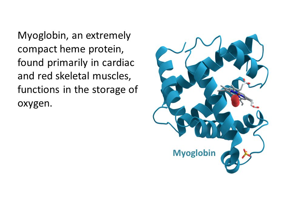 Myoglobin, an extremely compact heme protein, found primarily in cardiac and red skeletal muscles, functions in the storage of oxygen.
