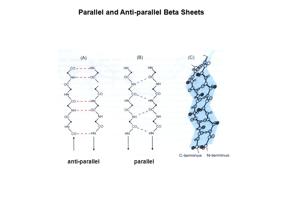 Parallel and Anti-parallel Beta Sheets anti-parallel parallel