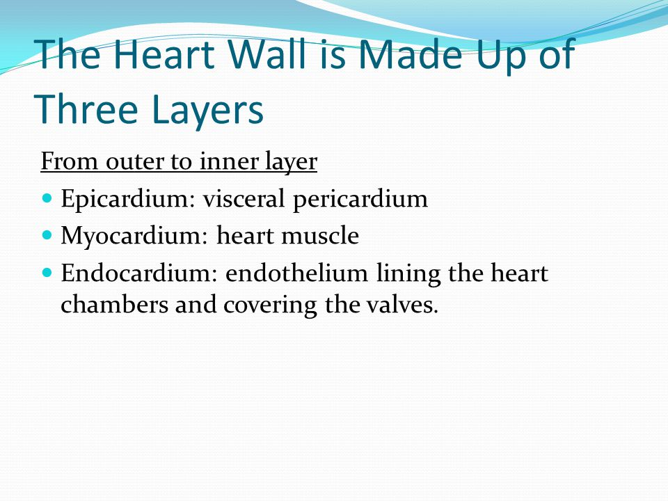 The Heart Wall is Made Up of Three Layers From outer to inner layer Epicardium: visceral pericardium Myocardium: heart muscle Endocardium: endothelium lining the heart chambers and covering the valves.
