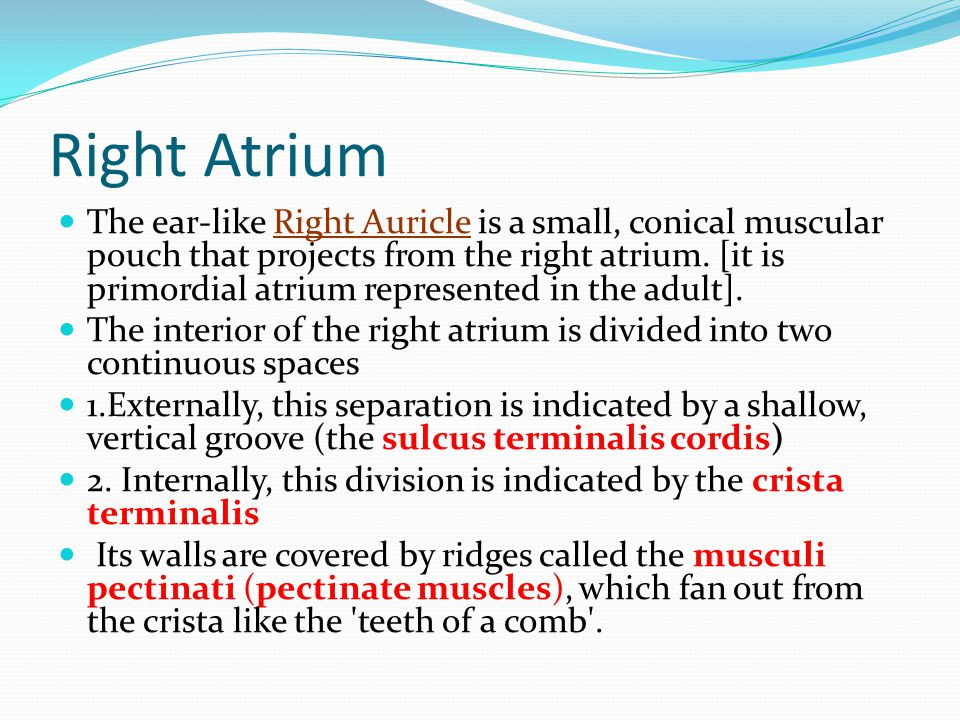 Right Atrium The ear-like Right Auricle is a small, conical muscular pouch that projects from the right atrium. [it is primordial atrium represented i
