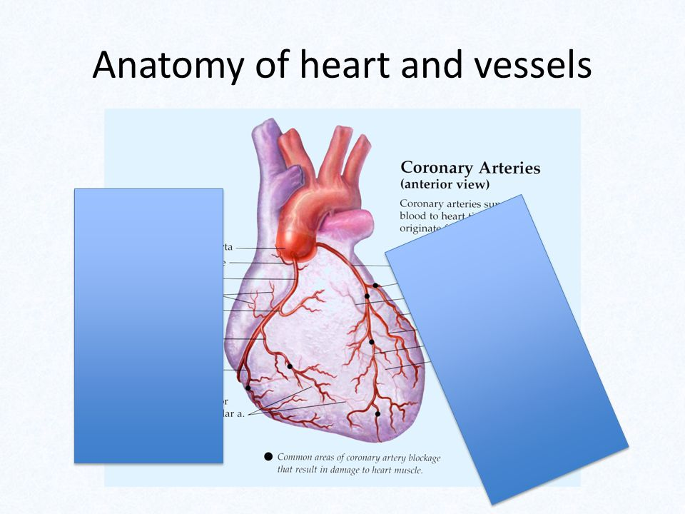 Anatomy of heart and vessels