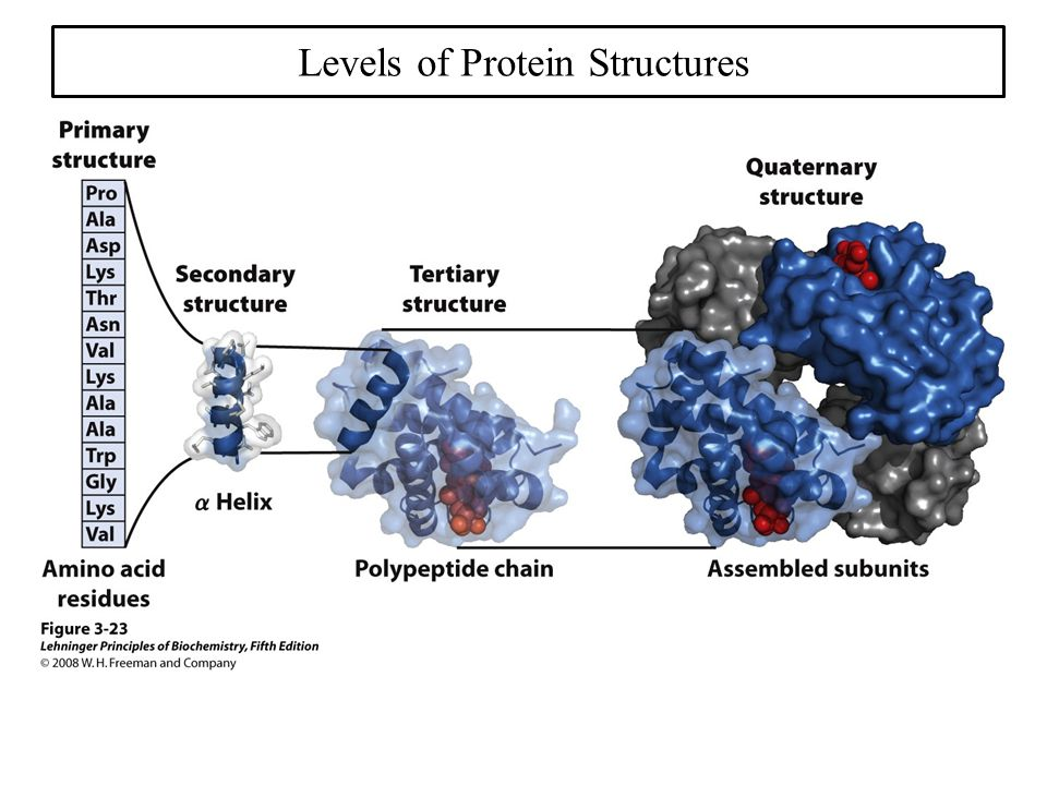  primary structure (set of covalent bonds within the structure)  secondary structure (helices, strands, coils/loops)  tertiary structure (3D packing of secondary structures)  quaternary structure (spatial arrangements of multiple chains) LIRLFKSHPETLEKFDRFKHL… Levels of Protein Structures