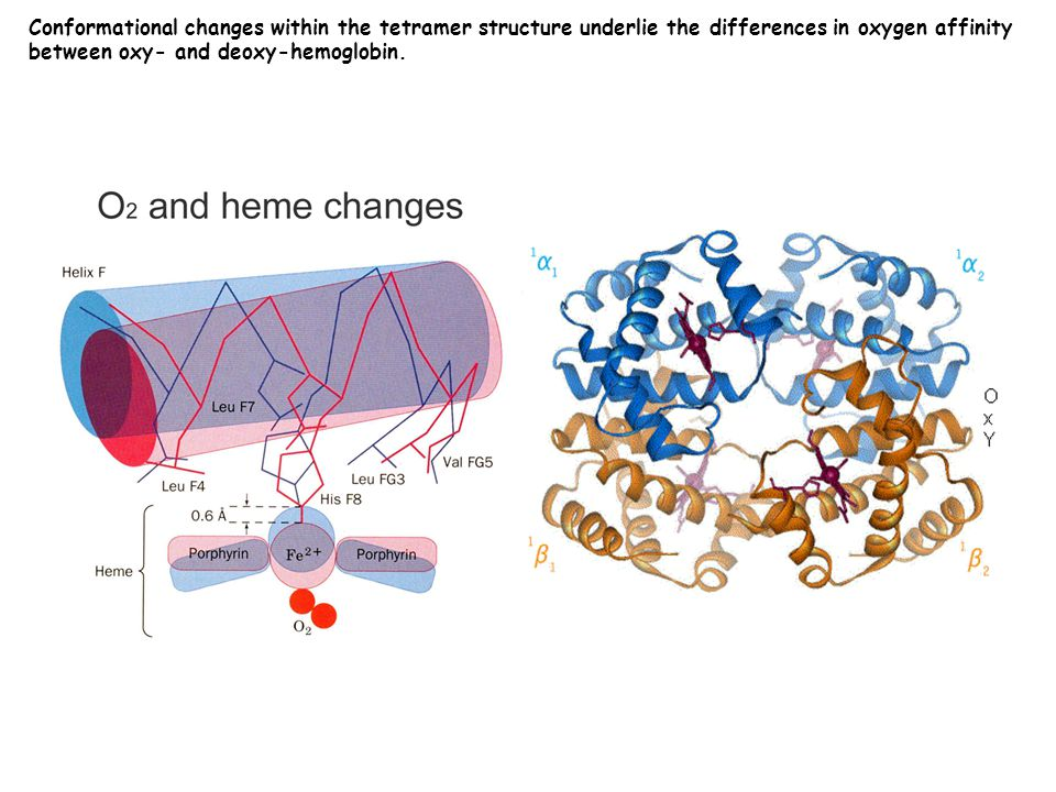 Conformational changes within the tetramer structure underlie the differences in oxygen affinity between oxy- and deoxy-hemoglobin.