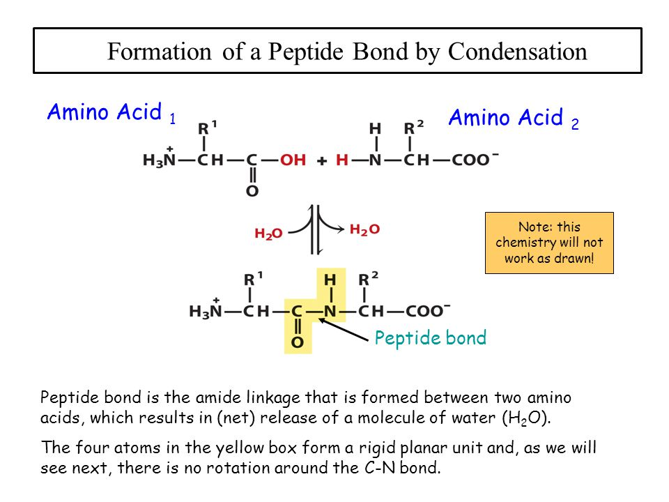 Formation of a Peptide Bond by Condensation Amino Acid 1 Amino Acid 2 Peptide bond Note: this chemistry will not work as drawn.