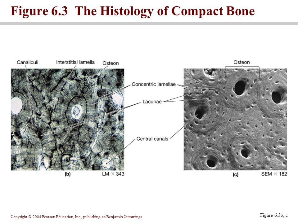 Copyright © 2004 Pearson Education, Inc., publishing as Benjamin Cummings Figure 6.3b, c Figure 6.3 The Histology of Compact Bone