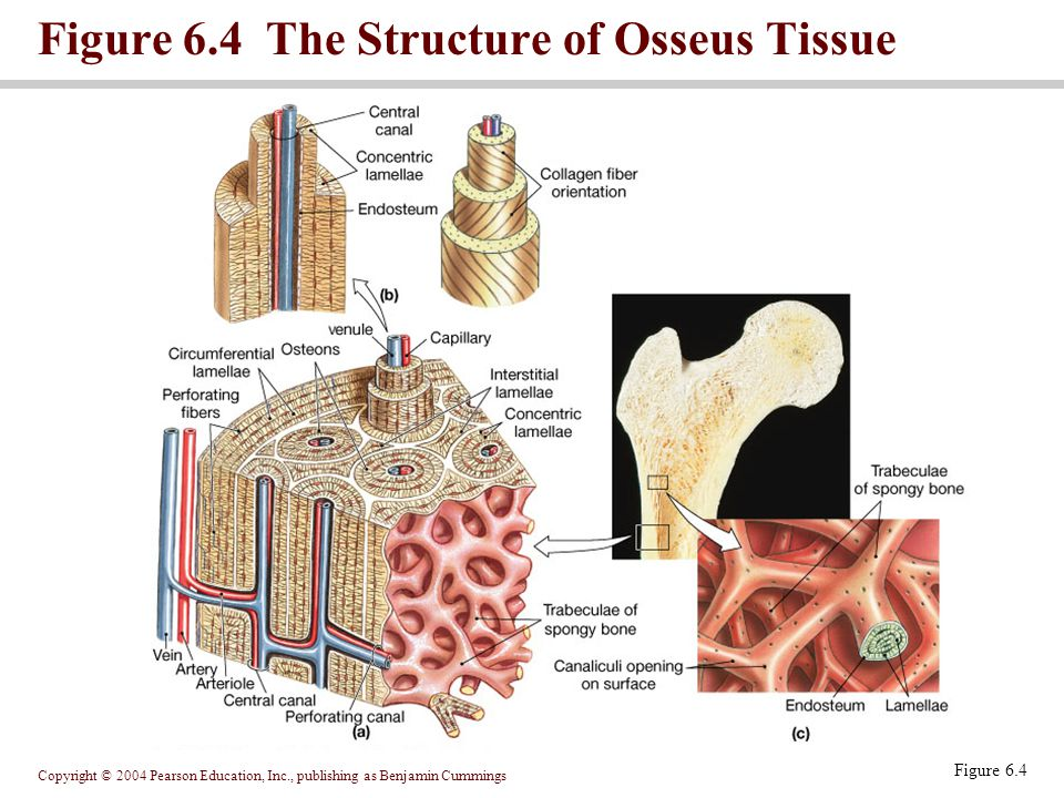 Copyright © 2004 Pearson Education, Inc., publishing as Benjamin Cummings Figure 6.4 Figure 6.4 The Structure of Osseus Tissue