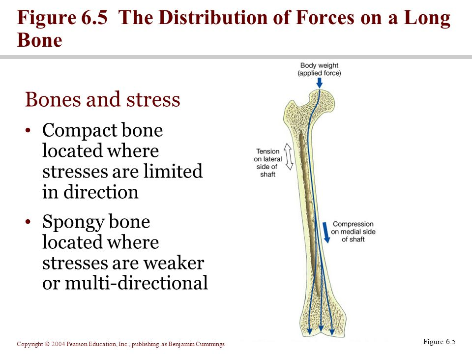 Copyright © 2004 Pearson Education, Inc., publishing as Benjamin Cummings Figure 6.5 Figure 6.5 The Distribution of Forces on a Long Bone Bones and stress Compact bone located where stresses are limited in direction Spongy bone located where stresses are weaker or multi-directional