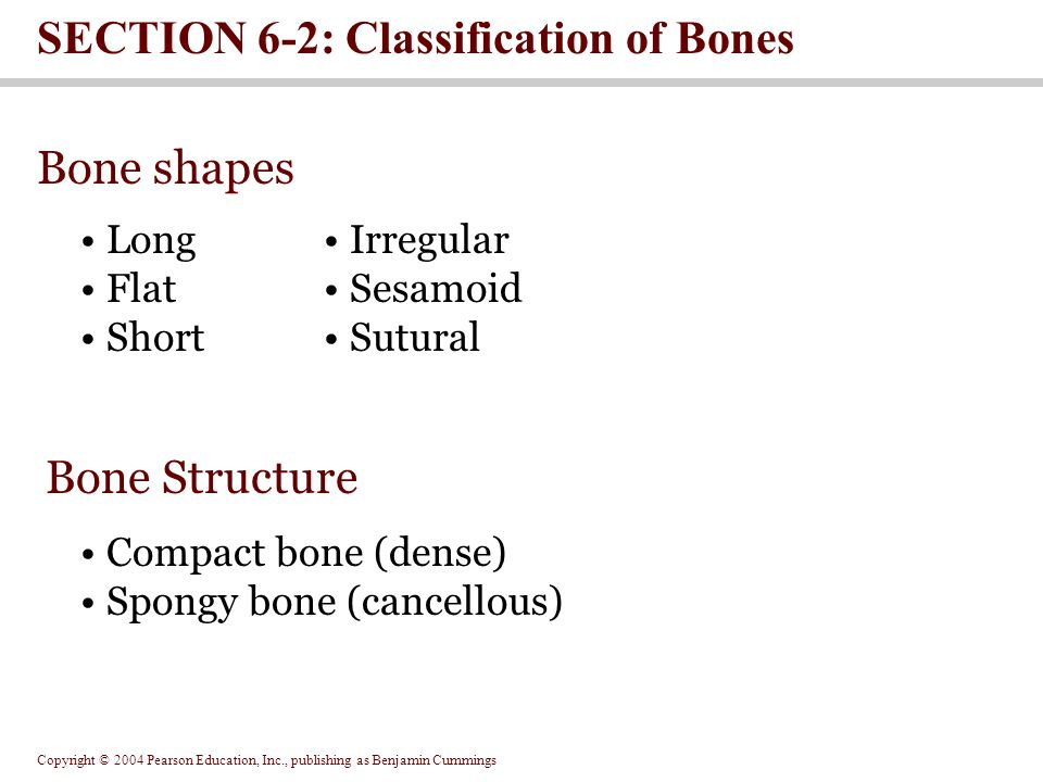 Bone shapes SECTION 6-2: Classification of Bones Irregular Sesamoid Sutural Long Flat Short Bone Structure Compact bone (dense) Spongy bone (cancellous)