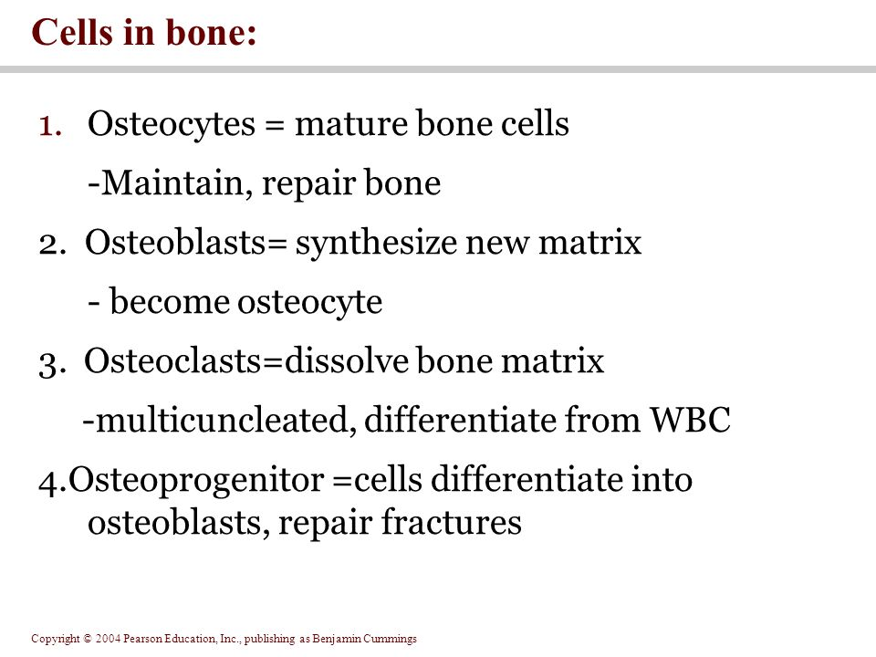 Copyright © 2004 Pearson Education, Inc., publishing as Benjamin Cummings 1.Osteocytes = mature bone cells -Maintain, repair bone 2.