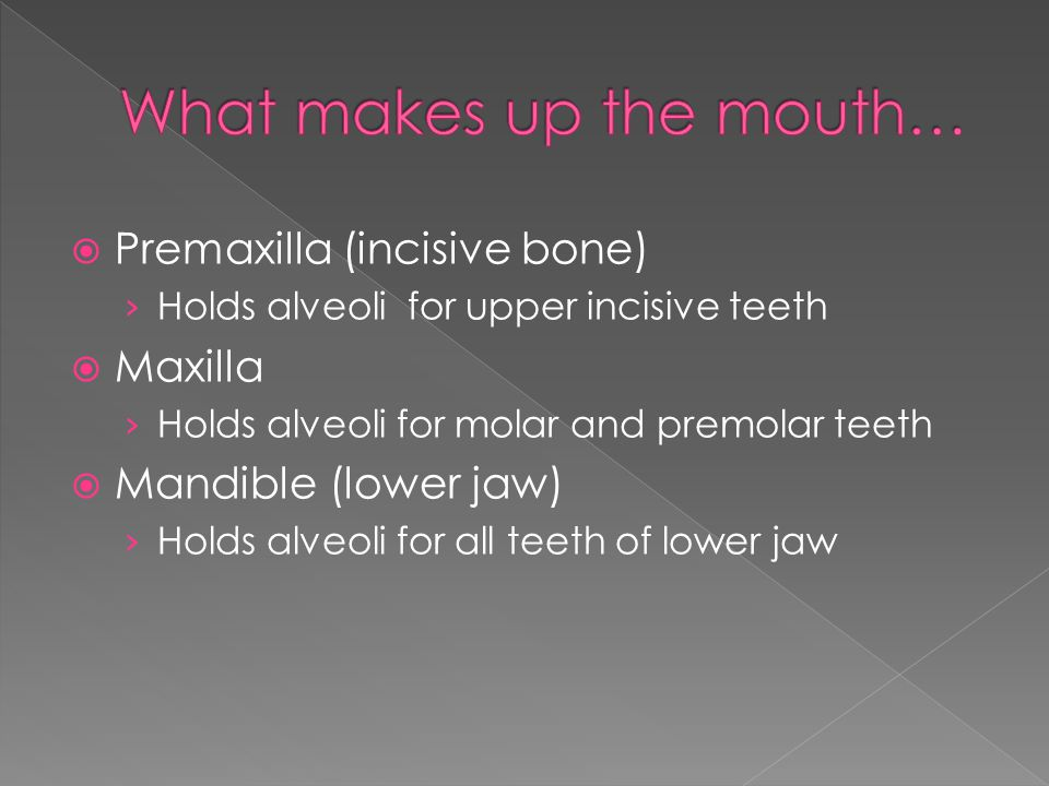  Premaxilla (incisive bone) › Holds alveoli for upper incisive teeth  Maxilla › Holds alveoli for molar and premolar teeth  Mandible (lower jaw) › Holds alveoli for all teeth of lower jaw