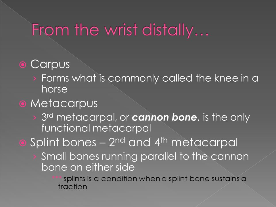  Carpus › Forms what is commonly called the knee in a horse  Metacarpus › 3 rd metacarpal, or cannon bone, is the only functional metacarpal  Splint bones – 2 nd and 4 th metacarpal › Small bones running parallel to the cannon bone on either side *** splints is a condition when a splint bone sustains a fraction
