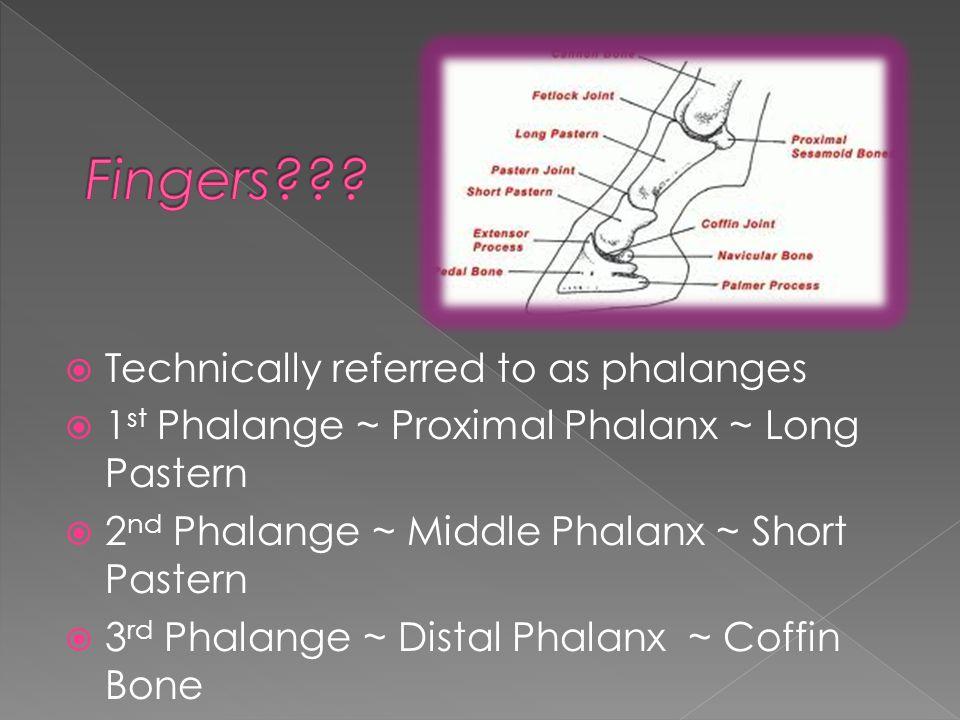  Technically referred to as phalanges  1 st Phalange ~ Proximal Phalanx ~ Long Pastern  2 nd Phalange ~ Middle Phalanx ~ Short Pastern  3 rd Phalange ~ Distal Phalanx ~ Coffin Bone
