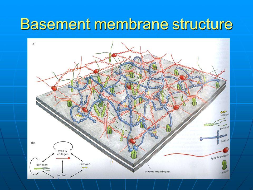 Basement membrane structure