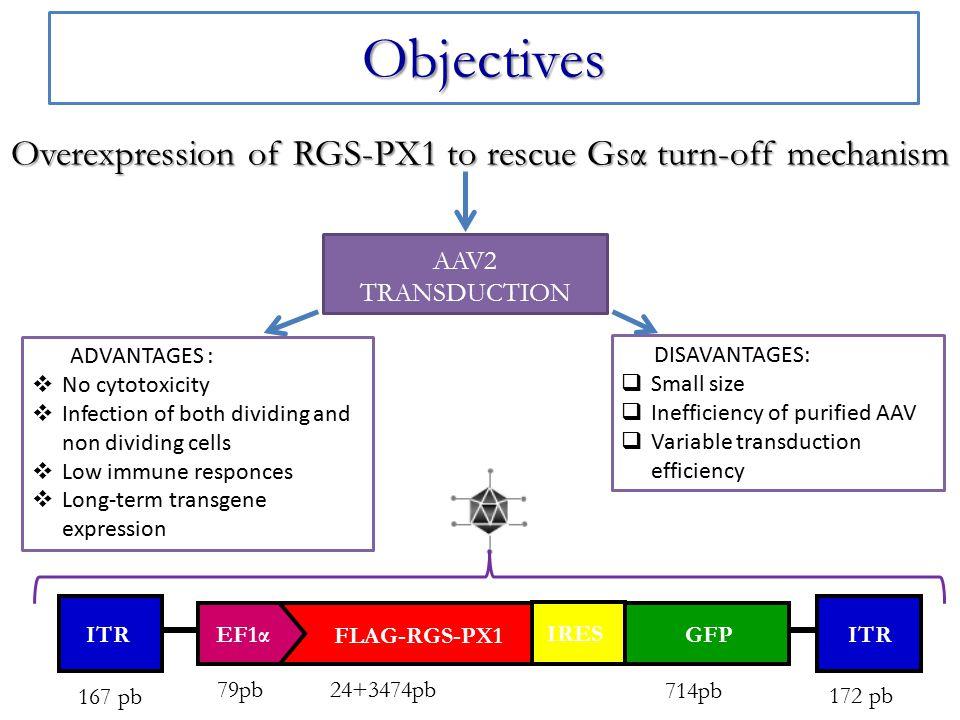 Detailed experimental plan Bone Marrow Stromal Cells (BMSCs) trasduced with Gsα R201C lentiviral vector.