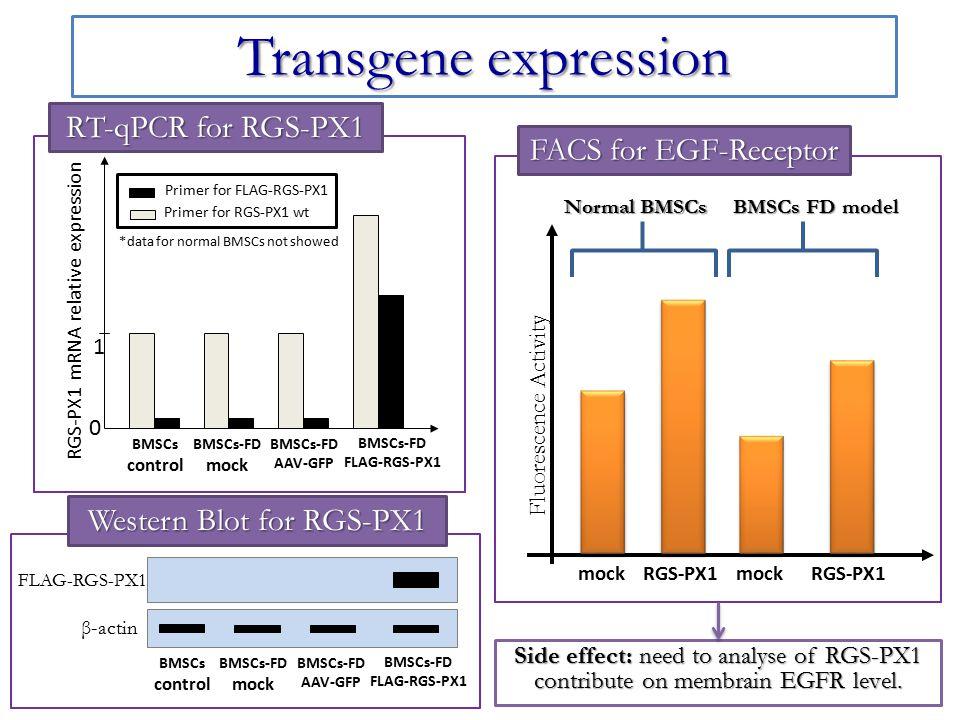 Rescue of FD cells: molecular analysis RT-qPCR for cFOS and IL6 Primer for IL-6 Primer for cFOS mRNA relative expression 1 0 BMSCs control BMSCs-FD mock BMSCs-FD AAV-GFP BMSCs-FD FLAG-RGS-PX1 *data for normal BMSCs not showed FD patients cFOS IL-6 BMSCs control BMSCs-FD mock BMSCs-FD AAV-GFP BMSCs-FD FLAG-RGS-PX1 Western Blot for FOS and IL6 Normal BMSCs BMSCs FD model cAMP/FGF 23 levels mockRGS-PX1 mockRGS-PX1 FGF-32 level cAMP level ELISA for cAMP and FGF23