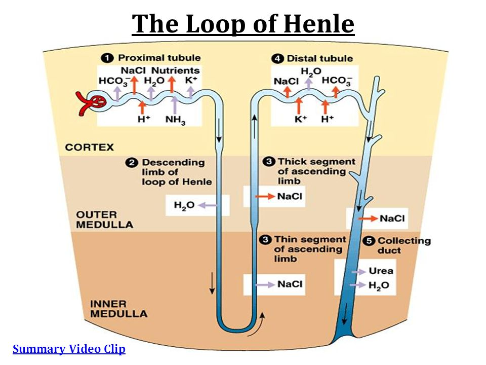 The Loop of Henle Summary Video Clip