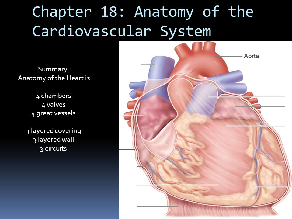 Chapter 18: Anatomy of the Cardiovascular System Summary: Anatomy of the Heart is: 4 chambers 4 valves 4 great vessels 3 layered covering 3 layered wa