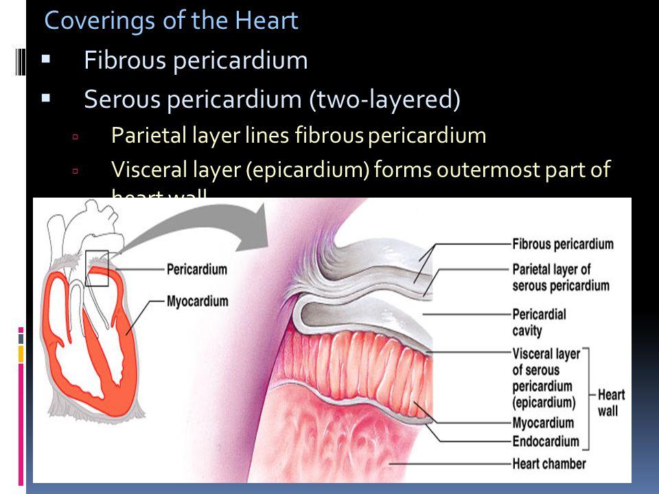Coverings of the Heart  Fibrous pericardium  Serous pericardium (two-layered)  Parietal layer lines fibrous pericardium  Visceral layer (epicardiu