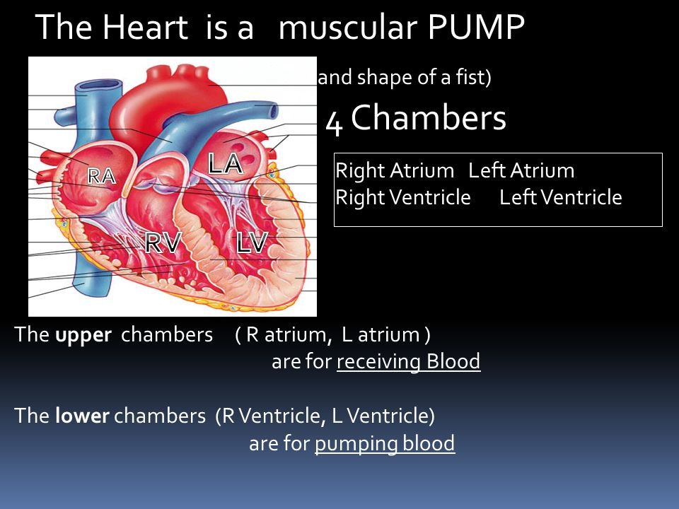 The Heart is a muscular PUMP (size and shape of a fist) with 4 Chambers The upper chambers ( R atrium, L atrium ) are for receiving Blood The lower ch