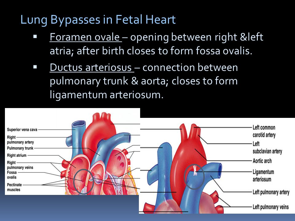 Lung Bypasses in Fetal Heart Lung Bypasses in Fetal Heart  Foramen ovale – opening between right &left atria; after birth closes to form fossa ovalis