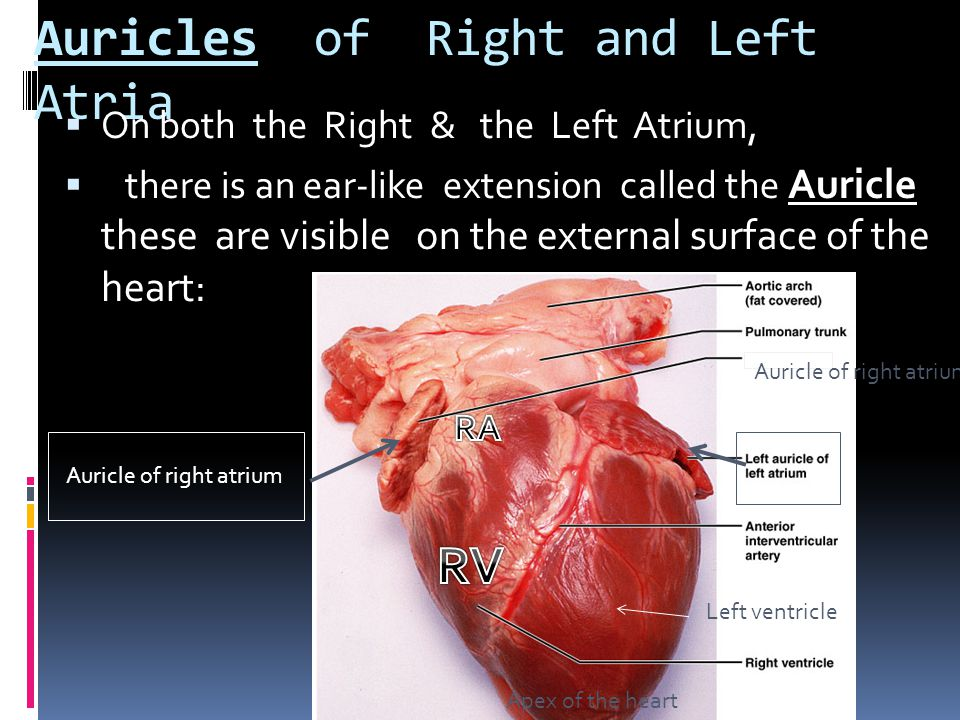 Auricles of Right and Left Atria  On both the Right & the Left Atrium,  there is an ear-like extension called the Auricle these are visible on the e