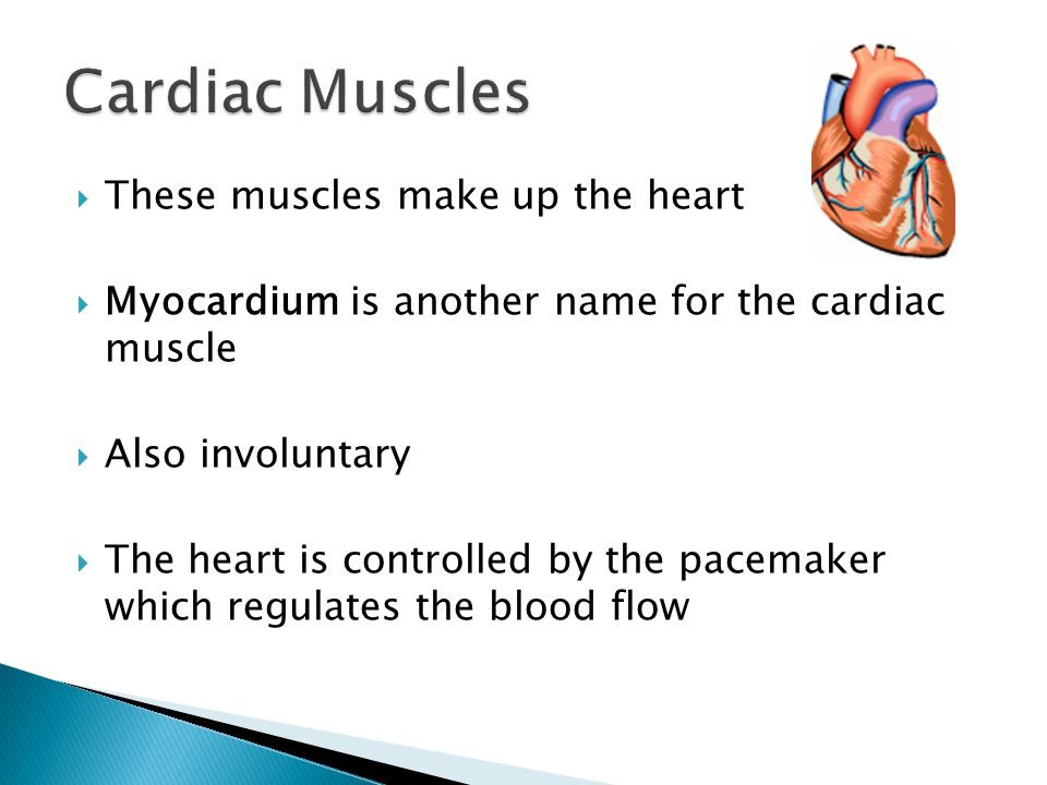  These muscles make up the heart  Myocardium is another name for the cardiac muscle  Also involuntary  The heart is controlled by the pacemaker which regulates the blood flow
