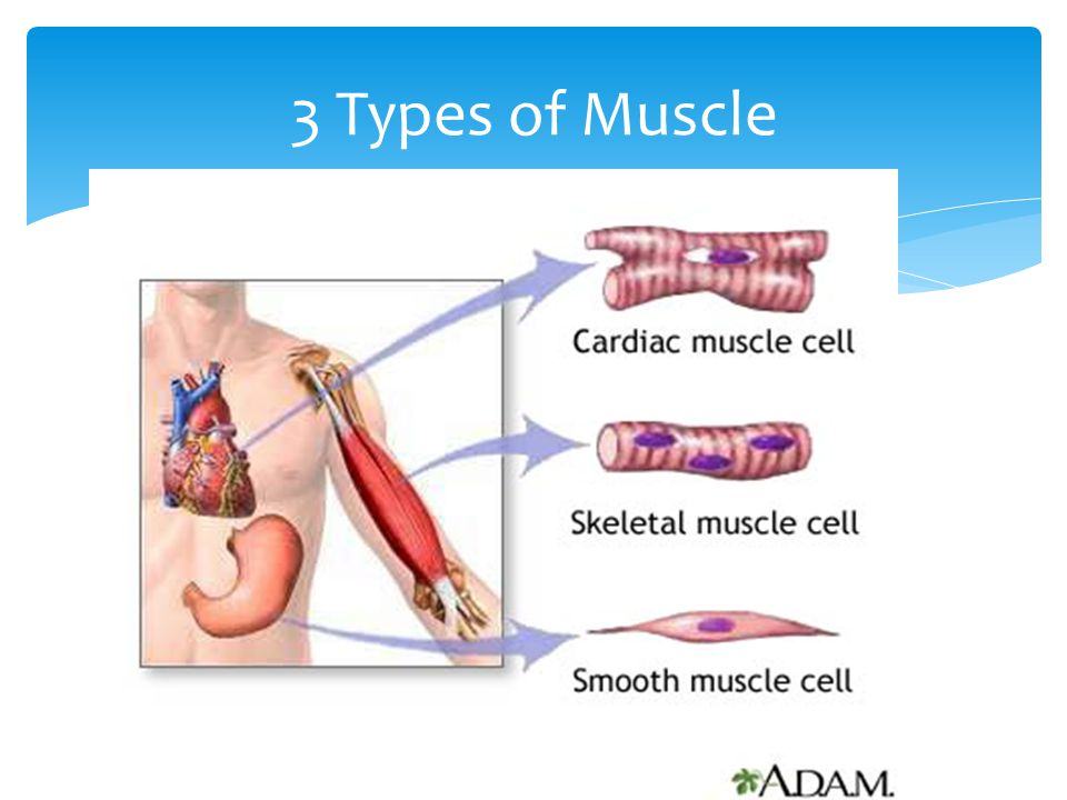 3 Types of Muscle
