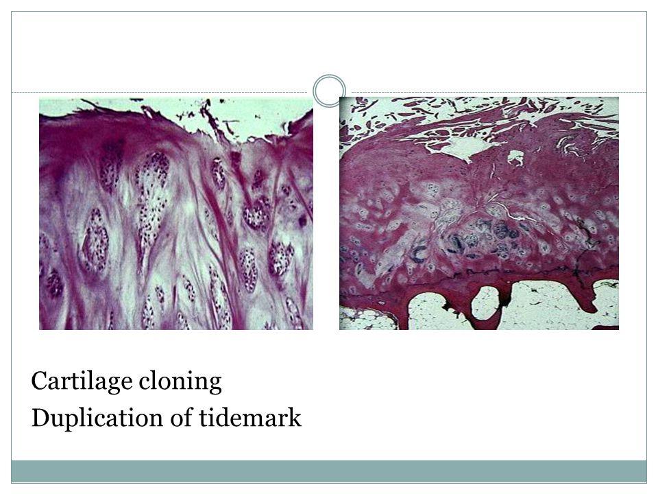 Cartilage cloning Duplication of tidemark