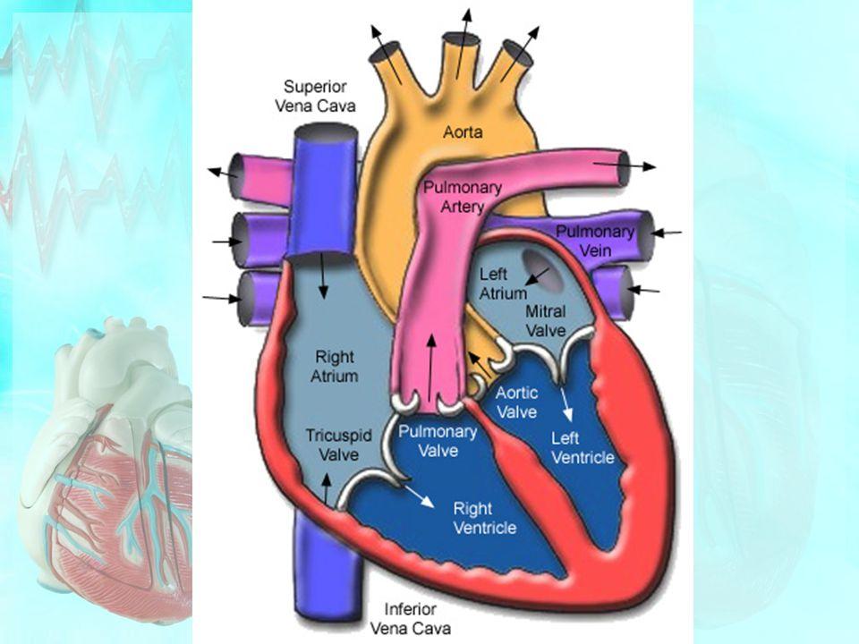 Vasodilation/Vasoconstriction Vasodilation = Increased diameter of blood vessels /Expand Resistance Decreases Increased Blood Flow Vasoconstriction = Decreased diameter Blood flow shut down Decreased blood flow