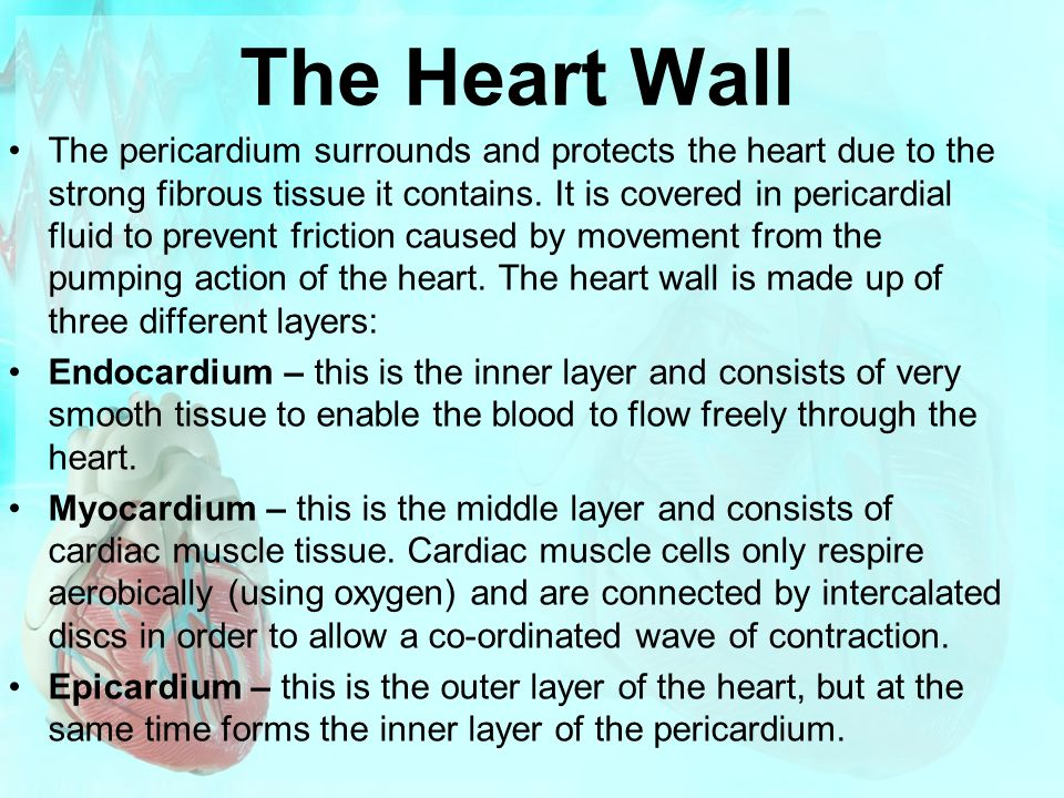 The Heart Wall The pericardium surrounds and protects the heart due to the strong fibrous tissue it contains. It is covered in pericardial fluid to pr
