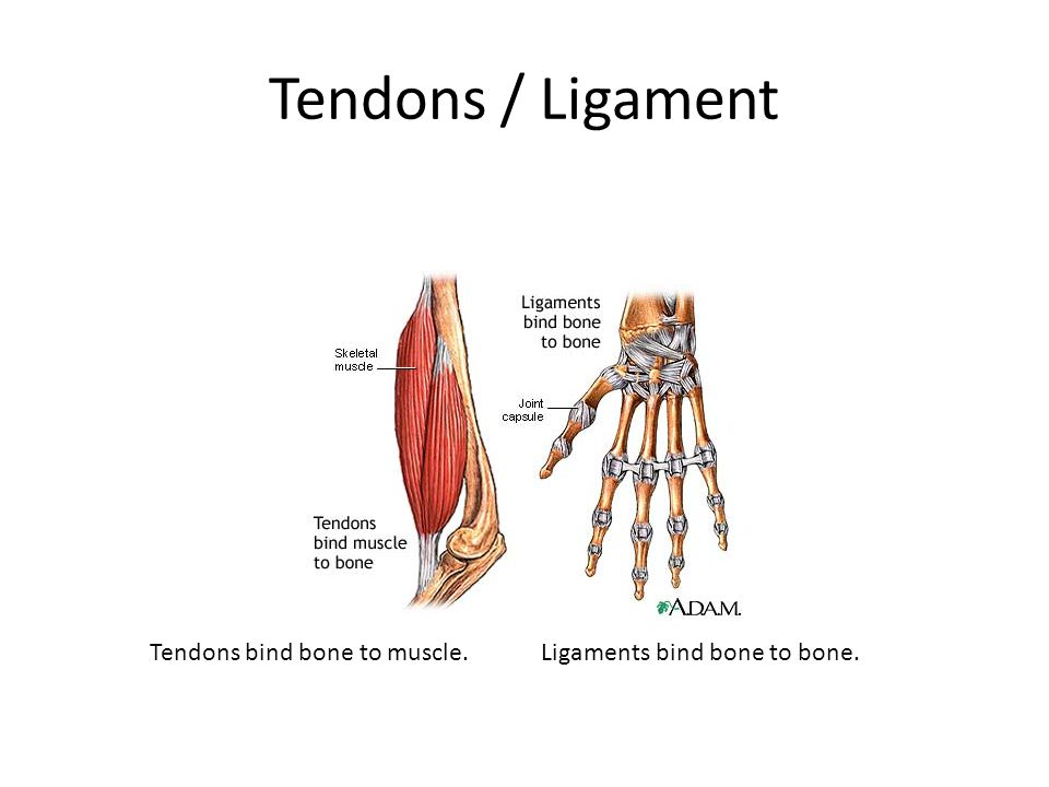 Tendons / Ligament Tendons bind bone to muscle. Ligaments bind bone to bone.