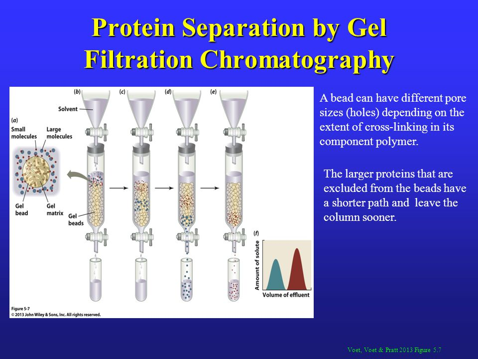 Protein Separation by Gel Filtration Chromatography Voet, Voet & Pratt 2013 Figure 5.7 A bead can have different pore sizes (holes) depending on the e