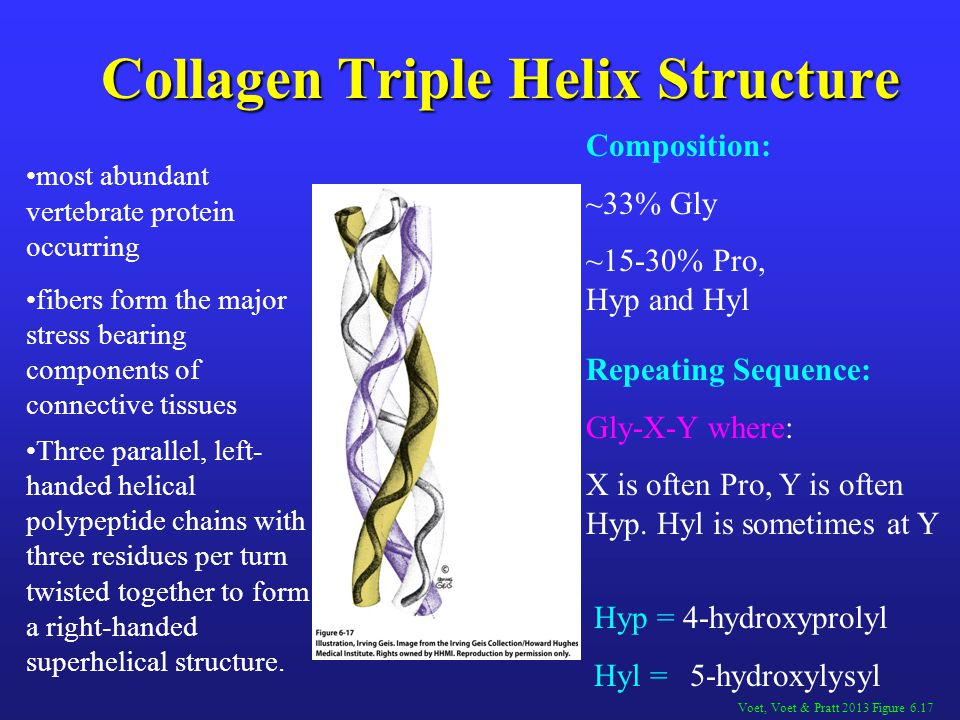 Collagen Triple Helix Structure Voet, Voet & Pratt 2013 Figure 6.17 Composition: ~33% Gly ~15-30% Pro, Hyp and Hyl Repeating Sequence: Gly-X-Y where: