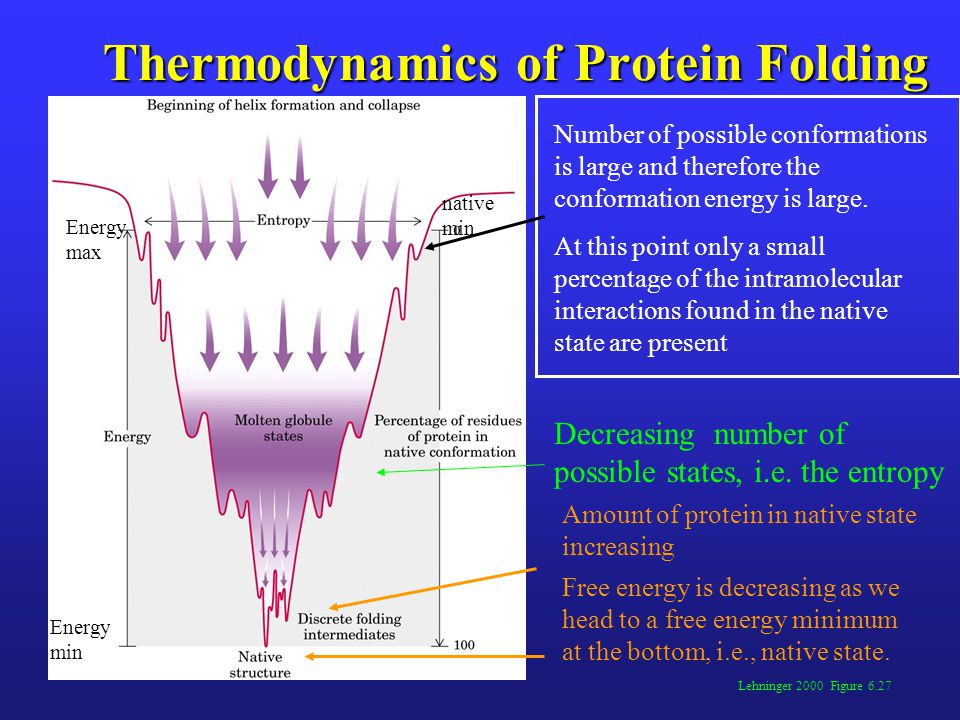 Thermodynamics of Protein Folding Lehninger 2000 Figure 6.27 Number of possible conformations is large and therefore the conformation energy is large.