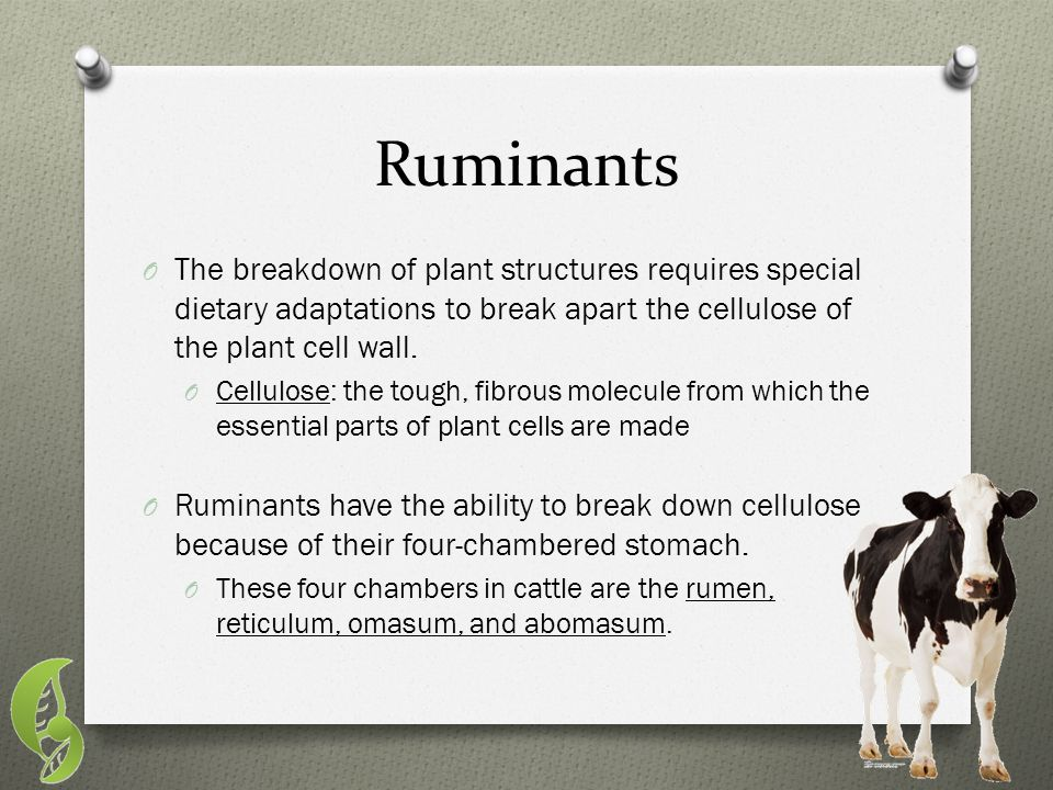 Ruminants O The breakdown of plant structures requires special dietary adaptations to break apart the cellulose of the plant cell wall. O Cellulose: t