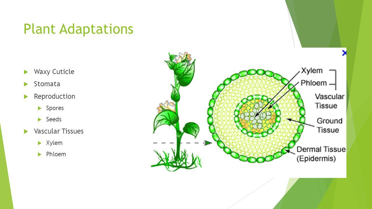 Plant Adaptations  Waxy Cuticle  Stomata  Reproduction  Spores  Seeds  Vascular Tissues  Xylem  Phloem